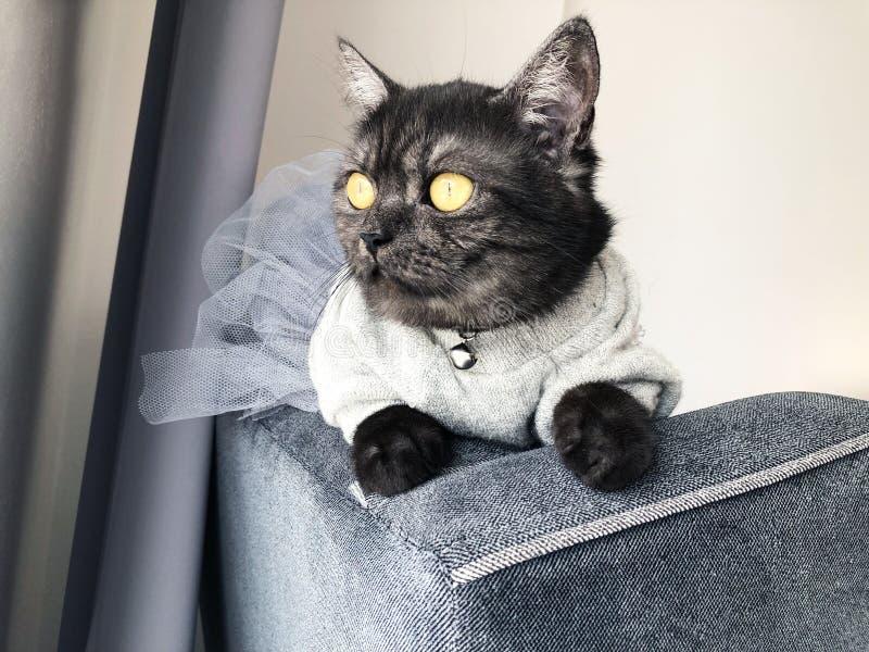Ślicznego czerń dymu shorthair brytyjski kot siedzi na leżance, ogląda za fotografia stock