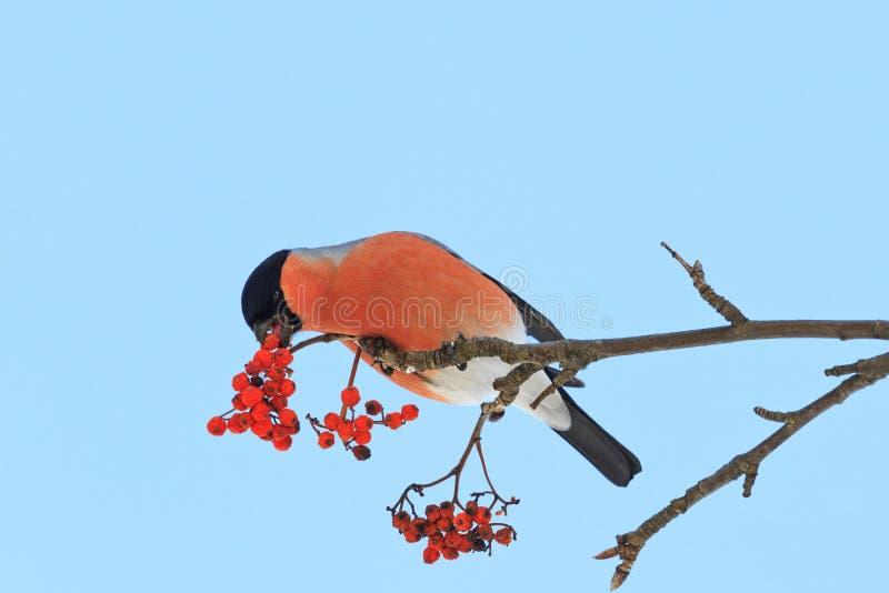 Ślicznego kolorowego eurasian gila łasowania czerwone jagody halny popiół fotografia stock