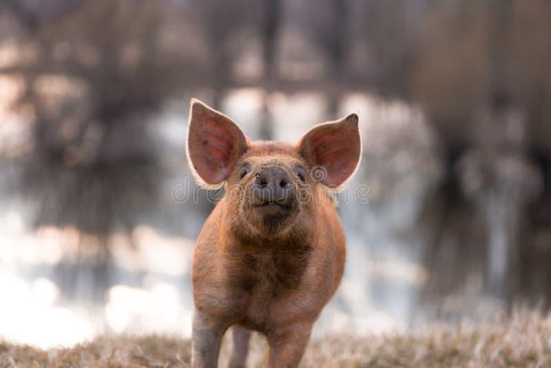 Ślicznego mangalitsa świniowaty gestykulować zdjęcia royalty free