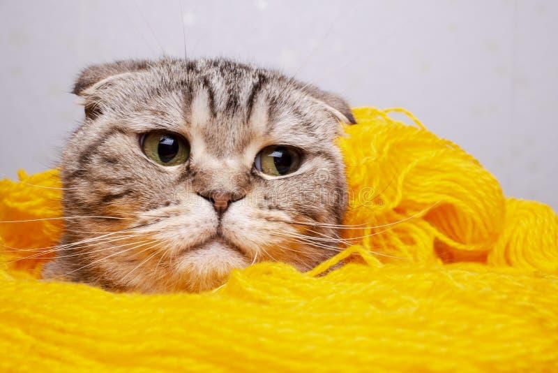 Ślicznego, pięknego kota Szkocki fałd, wtykał jej głowę z żółtej przędzy wełna i spojrzenia z podnieceniem zdjęcia stock