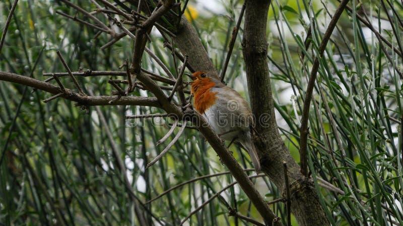 Ślicznego rudzika, Erithacus rubecula ptak/umieszczał w drzewnym śpiewie zdjęcie stock
