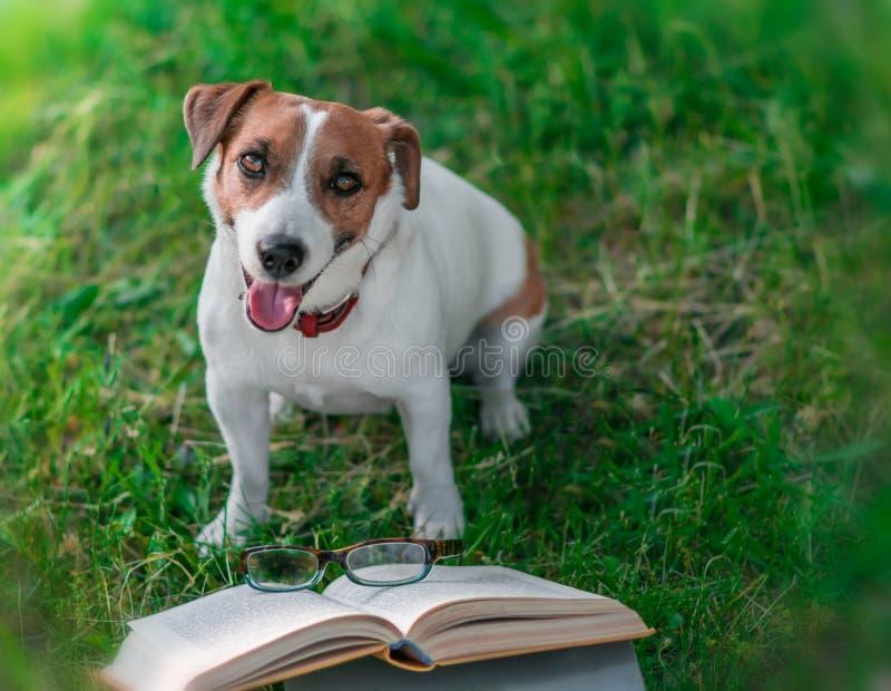 Ślicznego szczęśliwego zwierzę domowe dźwigarki Russel teriera siedzący outside na zielonej trawie obok otwartej książki Psi czyt zdjęcia royalty free