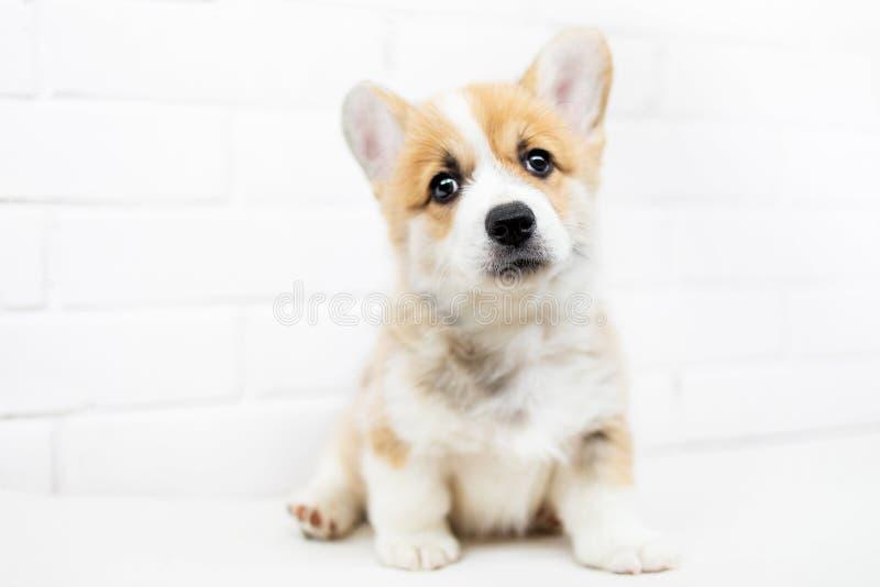 Ślicznego szczeniaka Corgi Walijski Pembroke jest przyglądającym kamerą i pytać fotografia royalty free