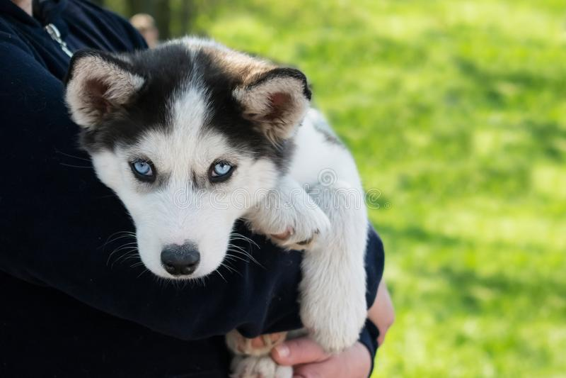 Ślicznego szczeniaka Syberyjski husky czarny i biały z niebieskimi oczami na fotografia stock