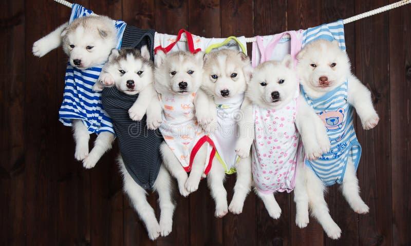 Śliczni Łuskowaci szczeniaki na tle, fotografia stock