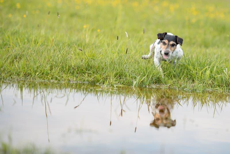 Śliczni śmieszni małego psa rytmy z jego łapą na wilgotnej wodzie nad obcieknięciem moczą łąkę Mały dźwigarki Russell terier sied zdjęcie stock