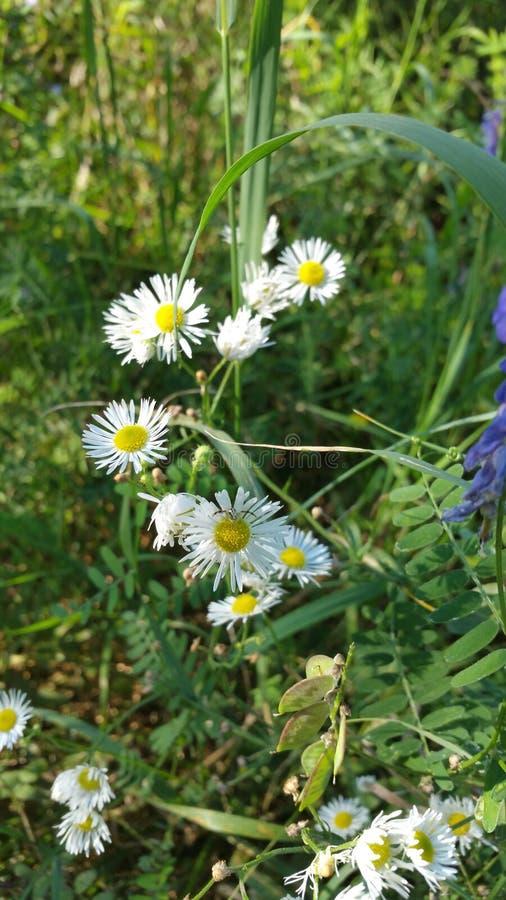 Śliczni biali kwiaty zdjęcie stock