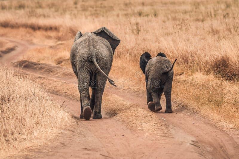 Śliczni dziecko słonie Afryka obraz stock