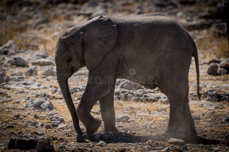 Śliczni dziecko słonie Afryka obrazy stock