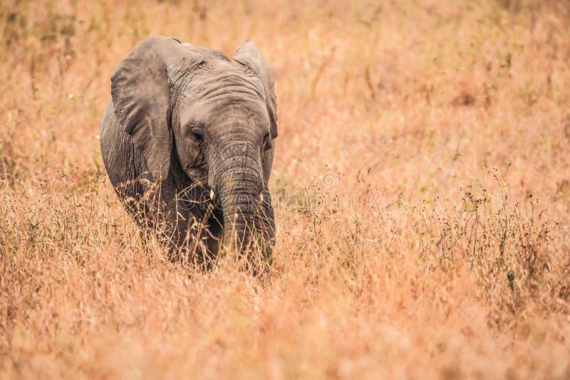 Śliczni dziecko słonie Afryka zdjęcia stock