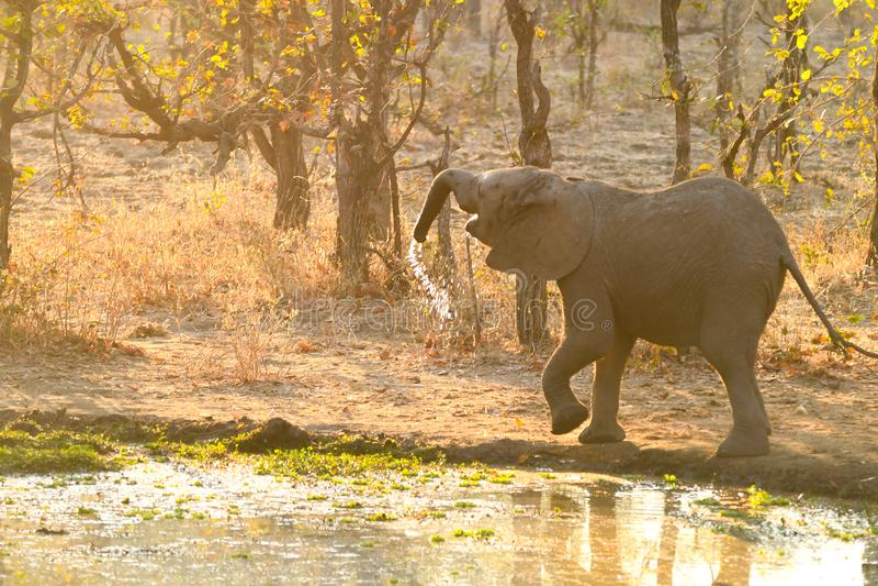 Śliczni dziecko słonie Afryka zdjęcie royalty free