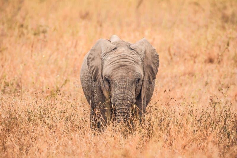 Śliczni dziecko słonie Afryka zdjęcia royalty free
