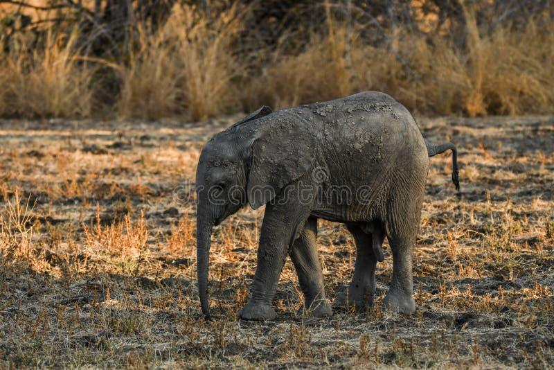 Śliczni dziecko słonie Afryka obraz royalty free