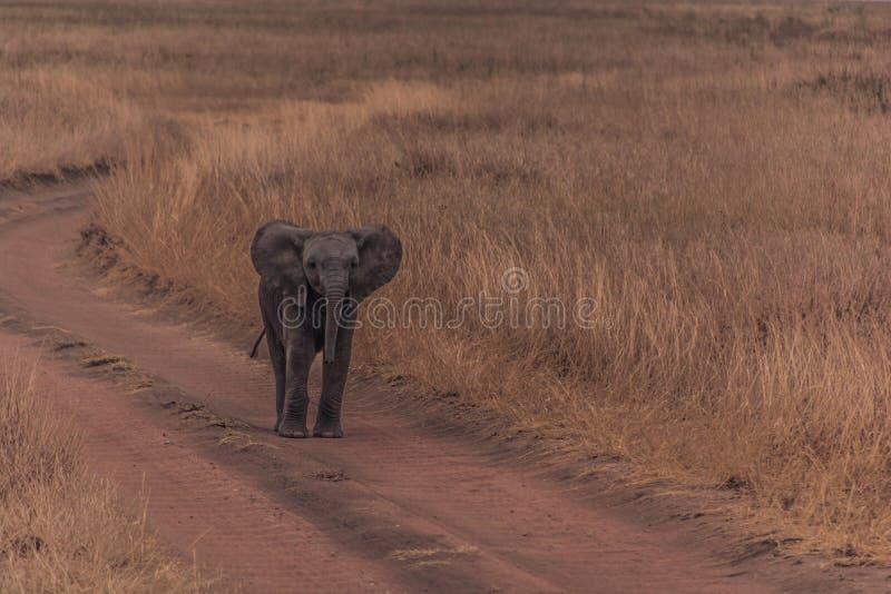 Śliczni dziecko słonie Afryka fotografia royalty free