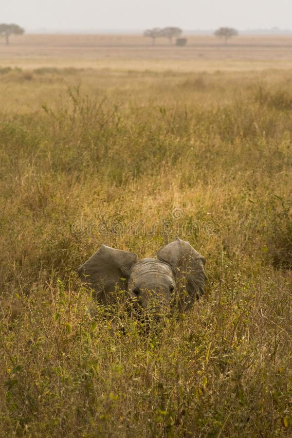 Śliczni dziecko słonie Afryka fotografia stock