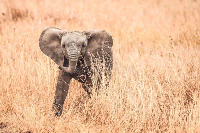 Śliczni dziecko słonie Afryka zdjęcie stock