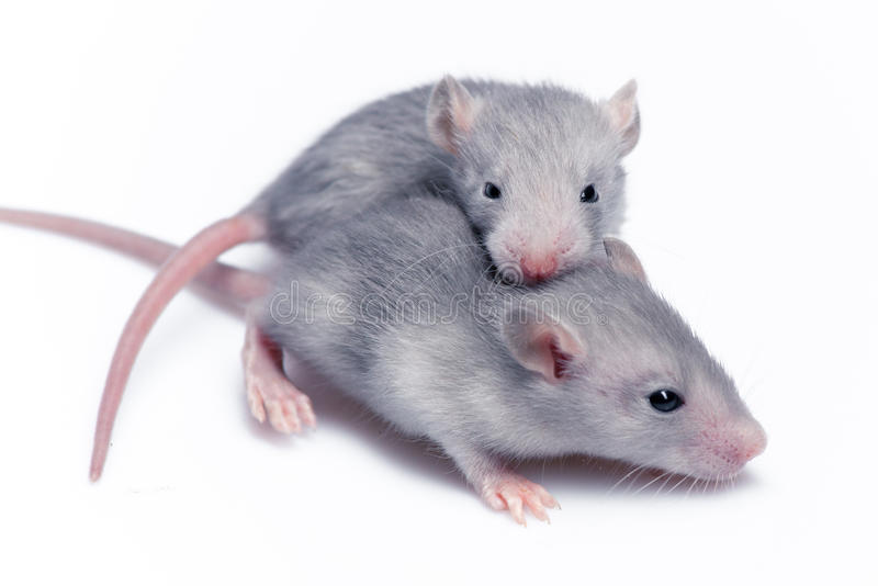 Śliczni dziecko szczury obraz royalty free