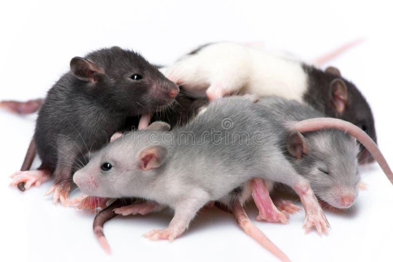 Śliczni dziecko szczury fotografia stock