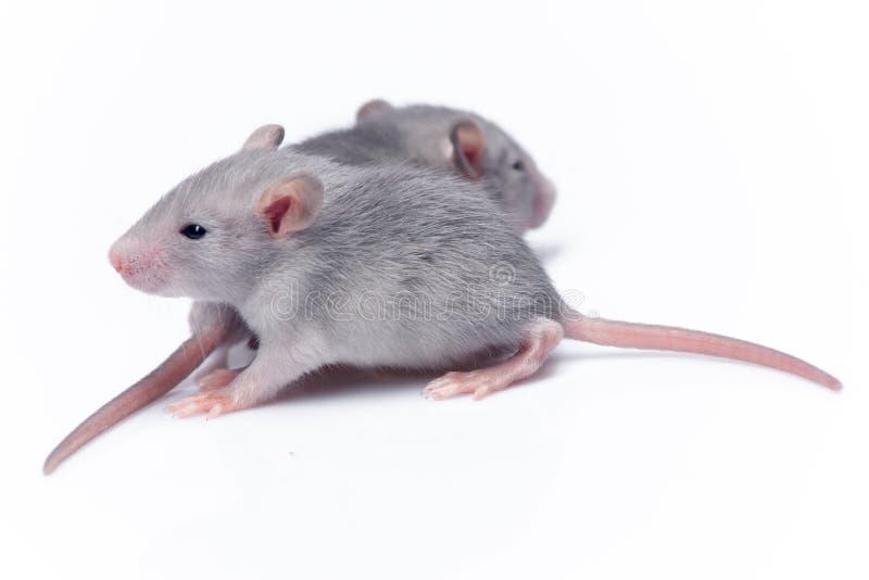 Śliczni dziecko szczury obraz stock