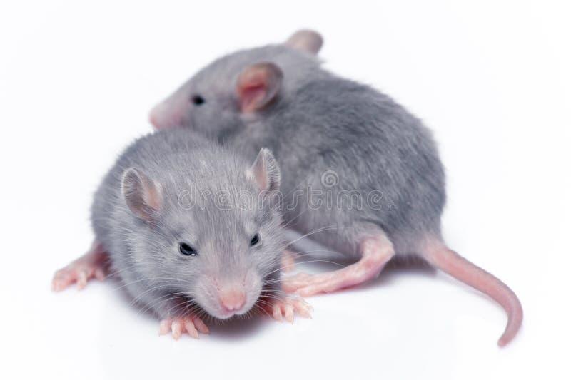 Śliczni dziecko szczury zdjęcie royalty free