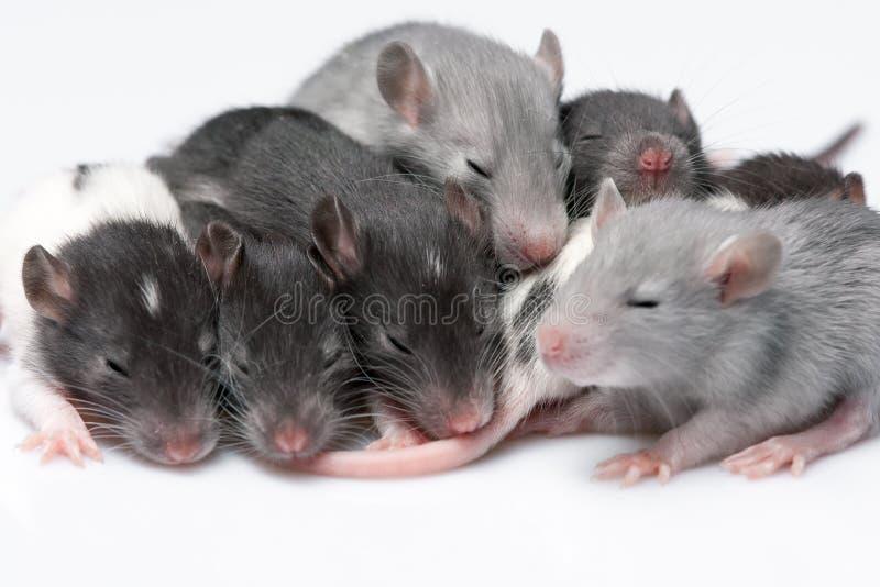 Śliczni dziecko szczury obrazy stock