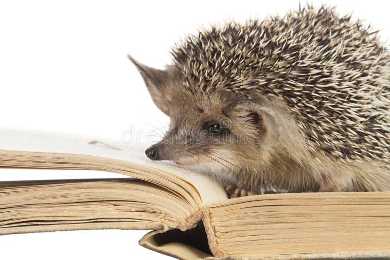 Śliczni jeże czytający książka odizolowywają biel zdjęcia stock