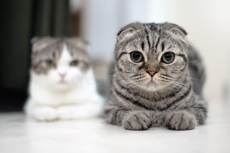 Śliczni kotów sen, Szkocki fałd zdjęcie stock