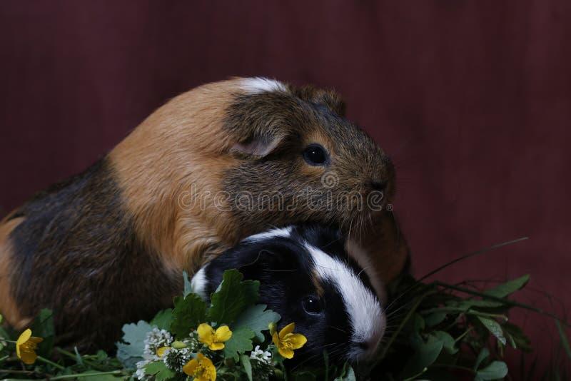 Śliczni króliki doświadczalni z żółtymi kwiatami fotografia stock