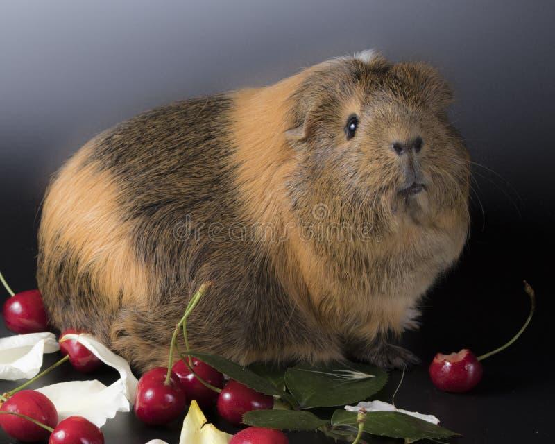 Śliczni króliki doświadczalni z cherrys obrazy stock