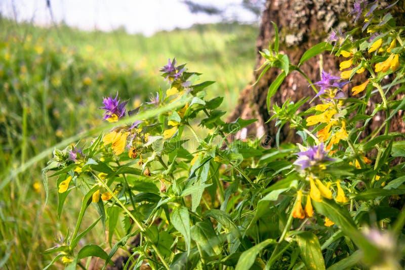 Śliczni kwiaty pszena Melampyrum nemorosum przy stopą duży drzewo obrazy royalty free
