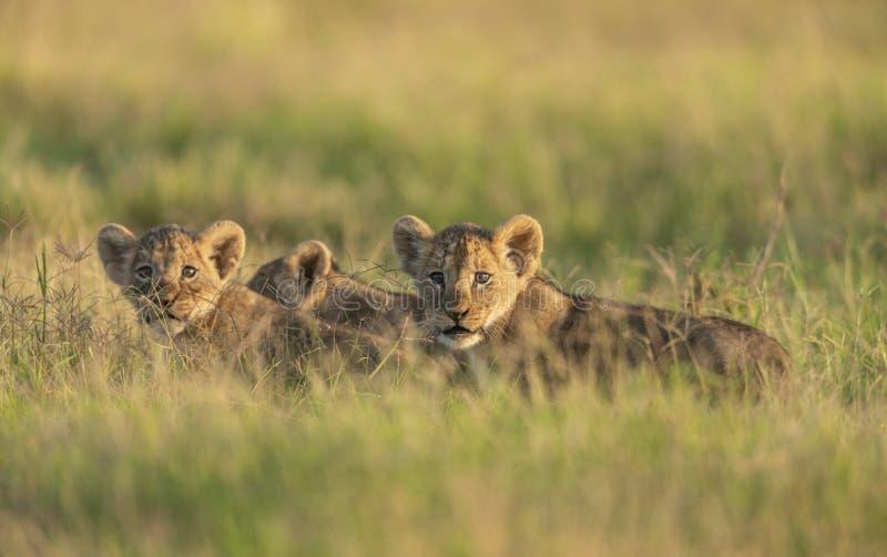 Śliczni lwów lisiątka przy Amboseli parkiem narodowym, Kenja zdjęcia royalty free