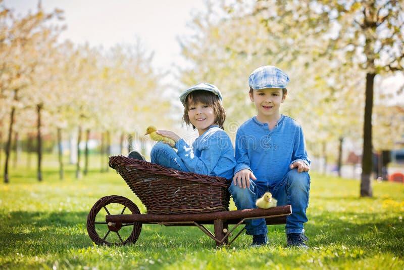 Śliczni małe dzieci, chłopiec bracia, bawić się z kaczątka sprin obraz stock