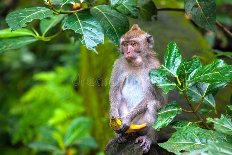 Śliczni małp życia w Ubud Małpują las, Bali, Indonezja obrazy royalty free