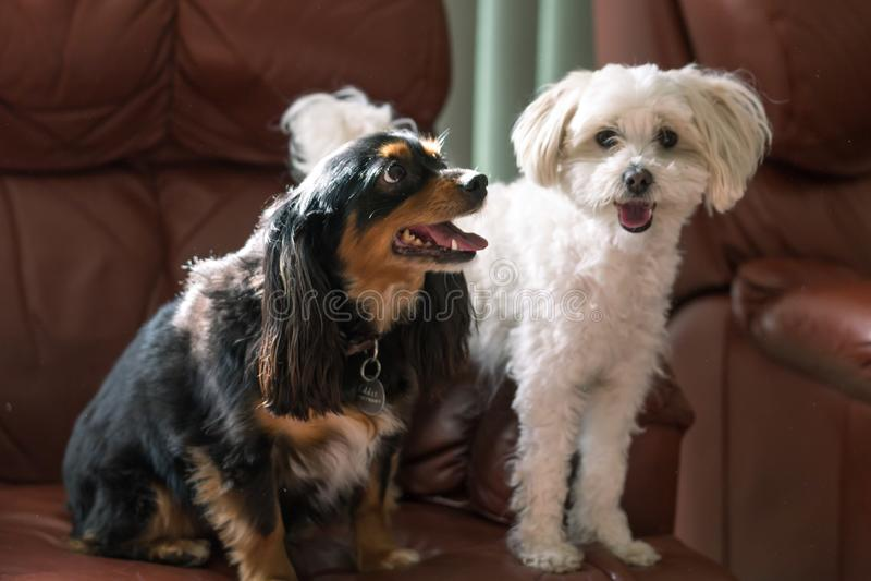 Śliczni mali psy na leżance z szczęśliwymi twarzami obrazy royalty free