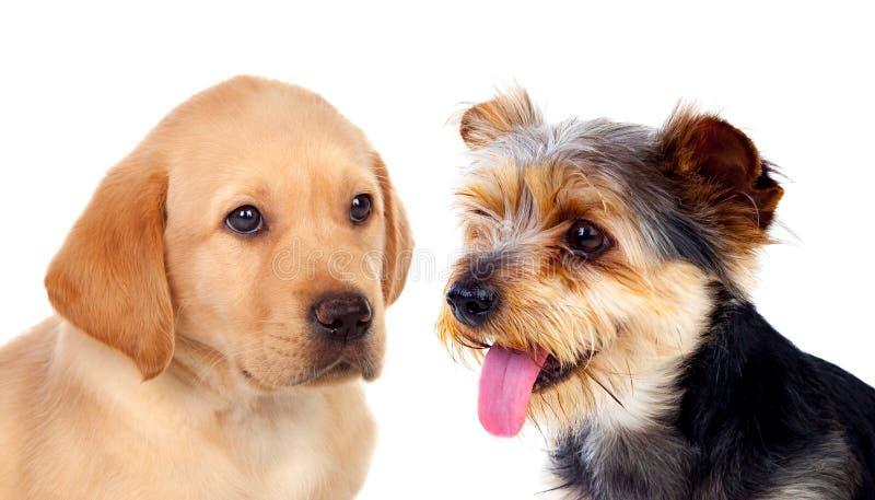 Śliczni mali psy odizolowywający fotografia stock