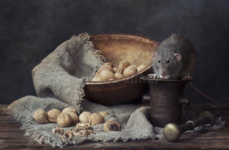 Śliczni mali szarzy szczura łasowania orzechy włoscy na metalu moździerzu Wciąż życie w rocznika stylu z żywym szczurem Chiński n fotografia royalty free
