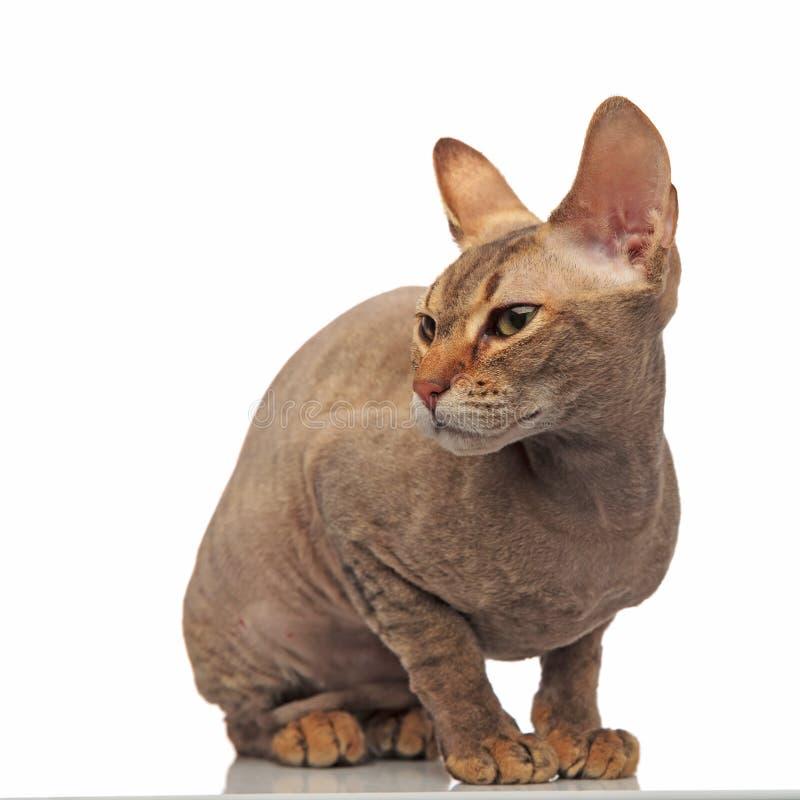 Śliczni posadzeni metis kota spojrzenia popierać kogoś zdjęcia royalty free