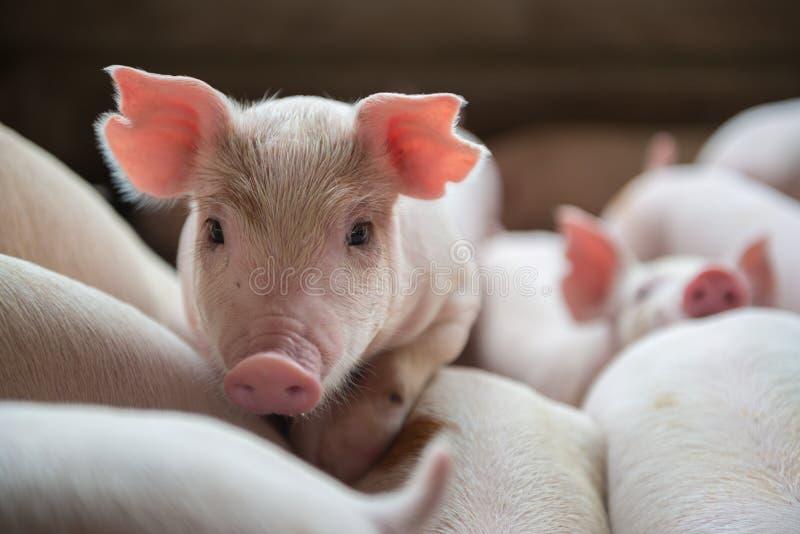 Śliczni prosiaczki w świniowatym gospodarstwie rolnym zdjęcia stock