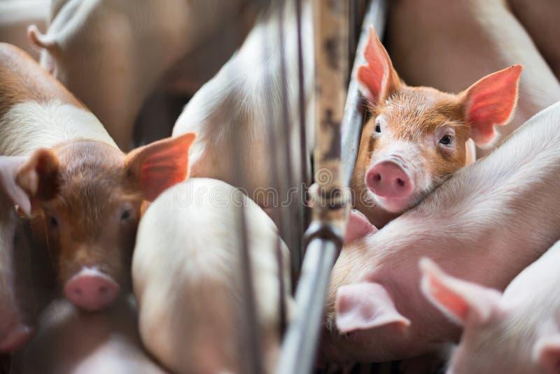 Śliczni prosiaczki w świniowatym gospodarstwie rolnym fotografia stock