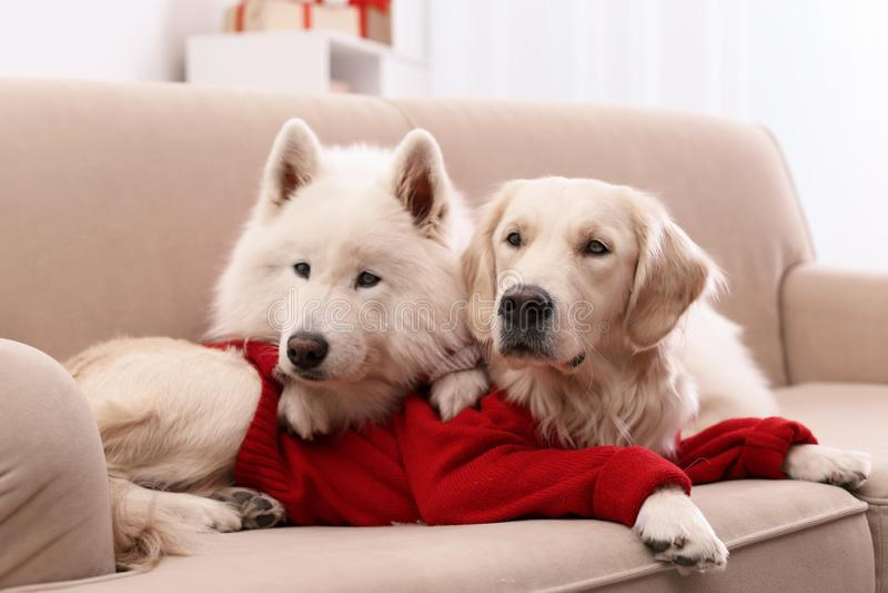 Śliczni psy w ciepłych pulowerach na kanapie w domu obraz royalty free