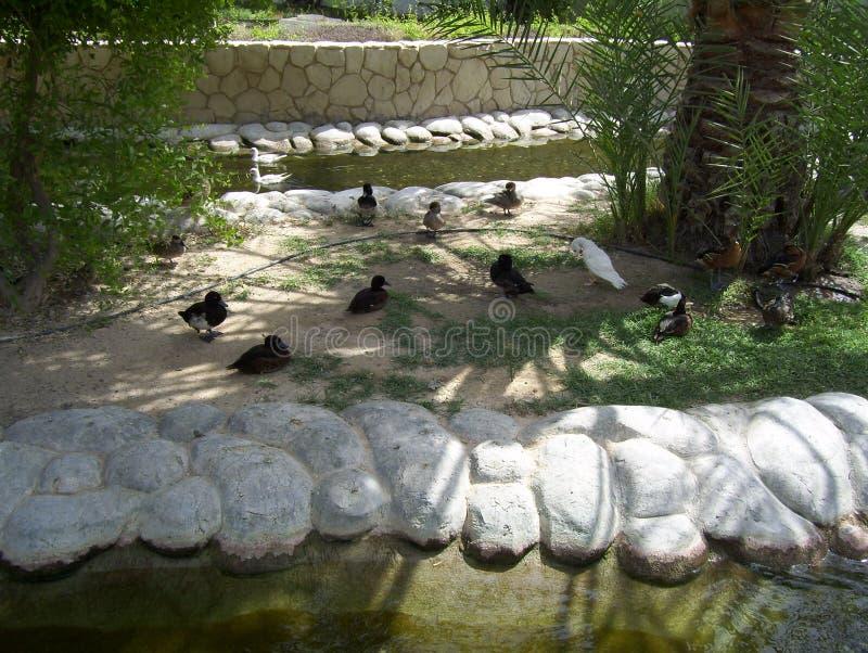 Śliczni ptaki Chodzi W pustyni zdjęcia stock