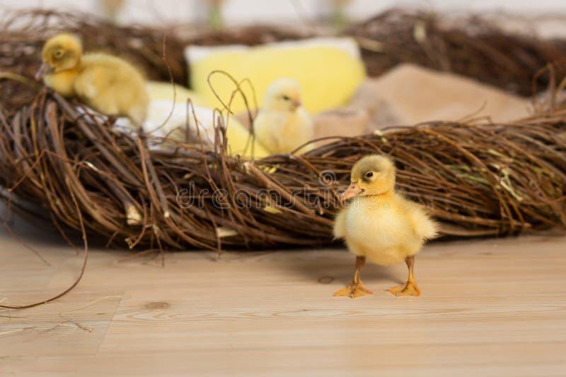 Śliczni puszyści mali Wielkanocni kaczątka i kurczaki chodzą blisko gniazdeczka zdjęcie royalty free
