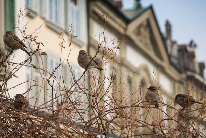 Śliczni wróble na krzaku na zimnym zima dniu zdjęcie royalty free