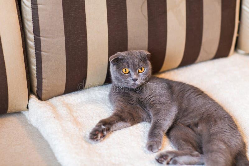 Śliczny śmieszny popielaty kot relaksuje na leżance fotografia royalty free