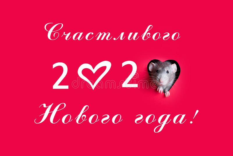 Śliczny śmieszny szczur patrzy na dziurę w kształcie serca w czerwonym papierze Zwierzak to głupi szczur Szczur jest symbolem 202 obraz stock