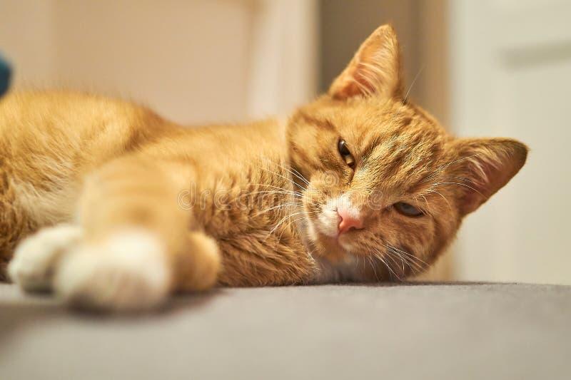 Śliczny śpiący czerwony kot fotografia royalty free