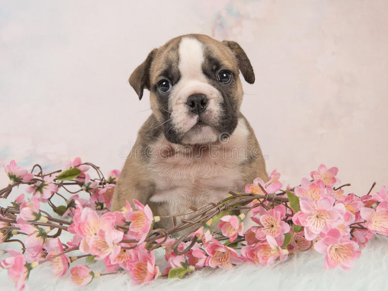 Śliczny angielski buldoga szczeniaka obsiadanie między różowymi kwiatami na błękitnym futerku na miękkich części menchii tle fotografia royalty free