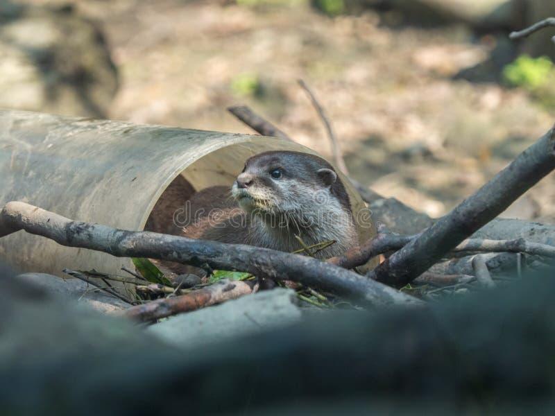 Śliczny azjata drapam wydry Amblonyx cinerea bawić się w białej klingeryt drymbie fotografia royalty free