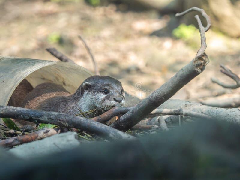 Śliczny azjata drapam wydry Amblonyx cinerea bawić się w białej klingeryt drymbie obrazy royalty free
