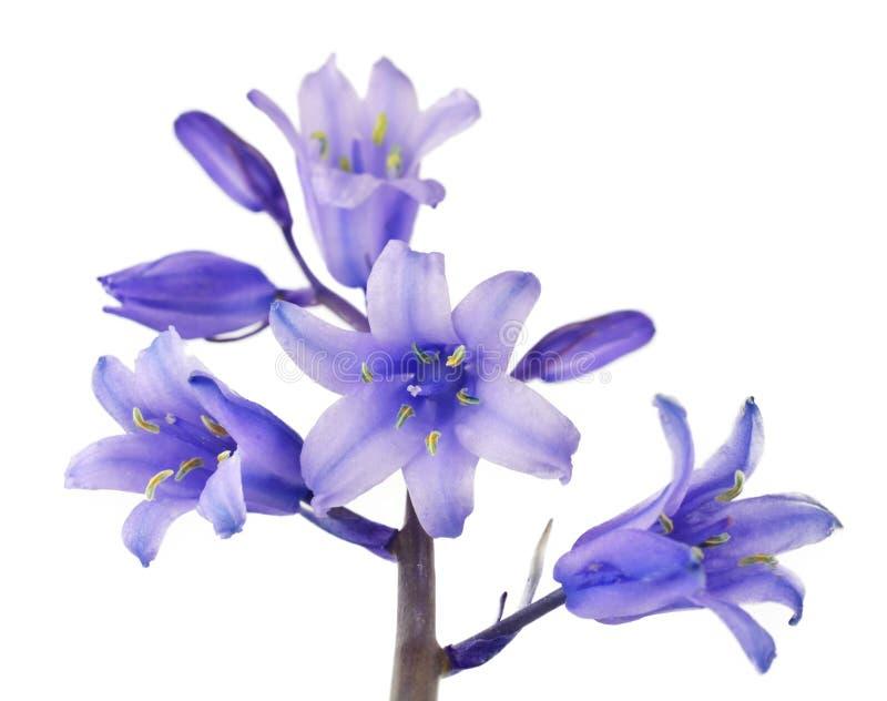 Śliczny Błękitny Dzwonu kwiat Odizolowywający na bielu fotografia stock